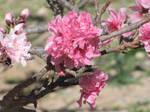 2012 Peach Blossom No. 2