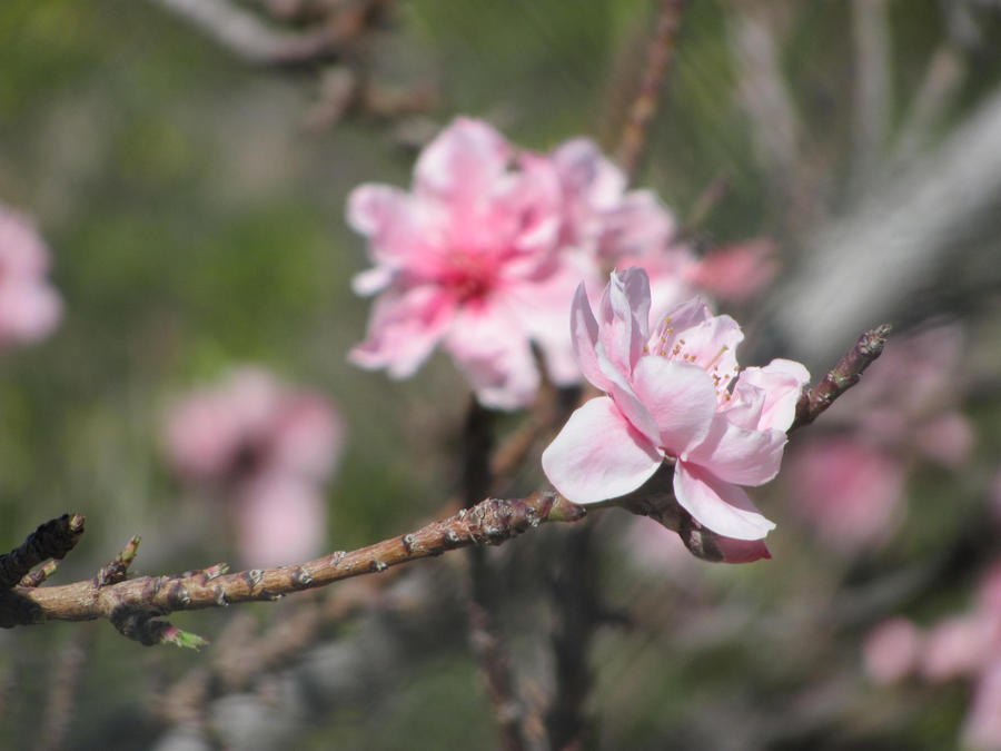 2012 Peach Blossom No. 3