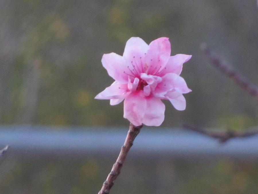 2012 Peach Blossom No. 4