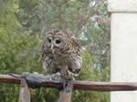 Baby Owl No. 1