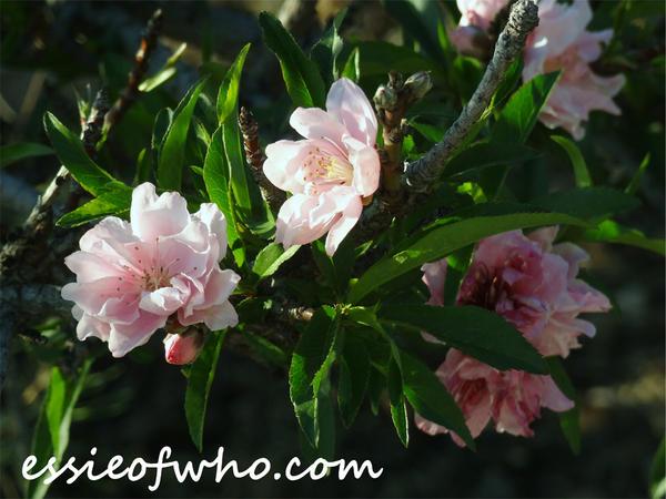 2015 Spring Blossom No. 5
