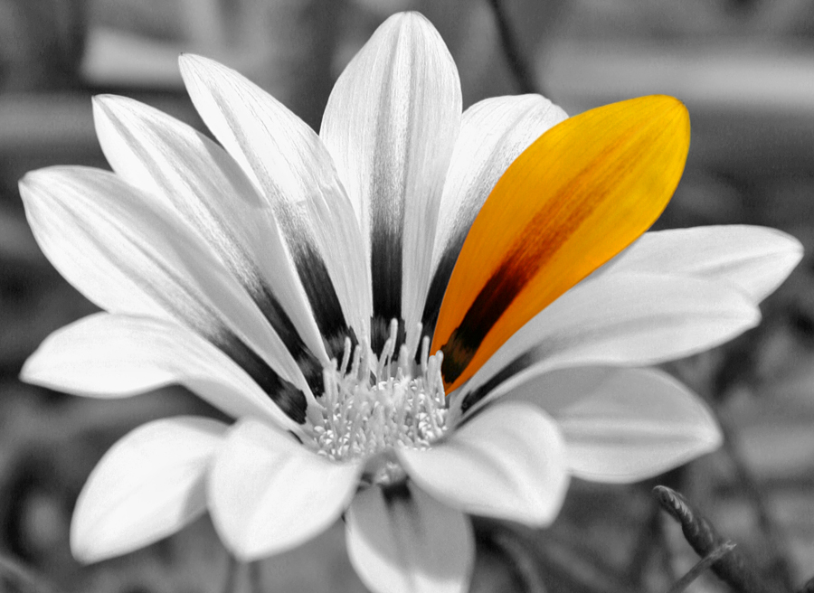 Gazania color splash by fauxhead on deviantart - Plants with blue flowers a splash of colors in the garden ...