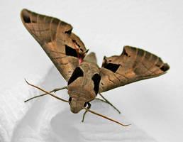 Hawk Sphinx Moth by FauxHead