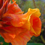 Peachy Iris by FauxHead