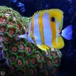Butterflyfish by FauxHead