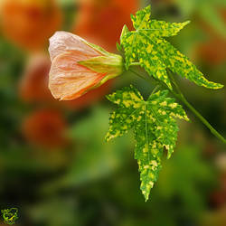 Abutilion Flowering Maple by FauxHead