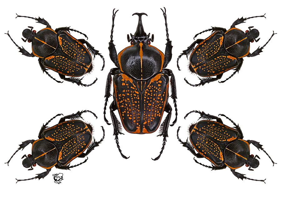 Goliath Flower Beetle by FauxHead