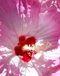 Inside A Pink Hibiscus