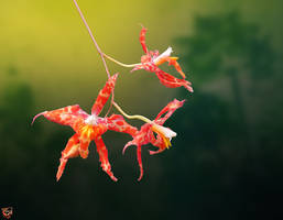 Spider Orchid by FauxHead