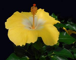 Soft Yellow Hibiscus