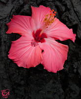 Dark Pink Hibiscus by FauxHead