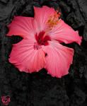 Dark Pink Hibiscus