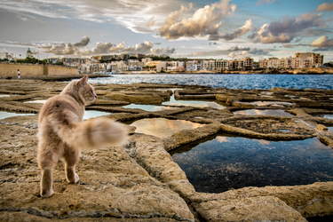 Maltese Cat by Dr-Livemore