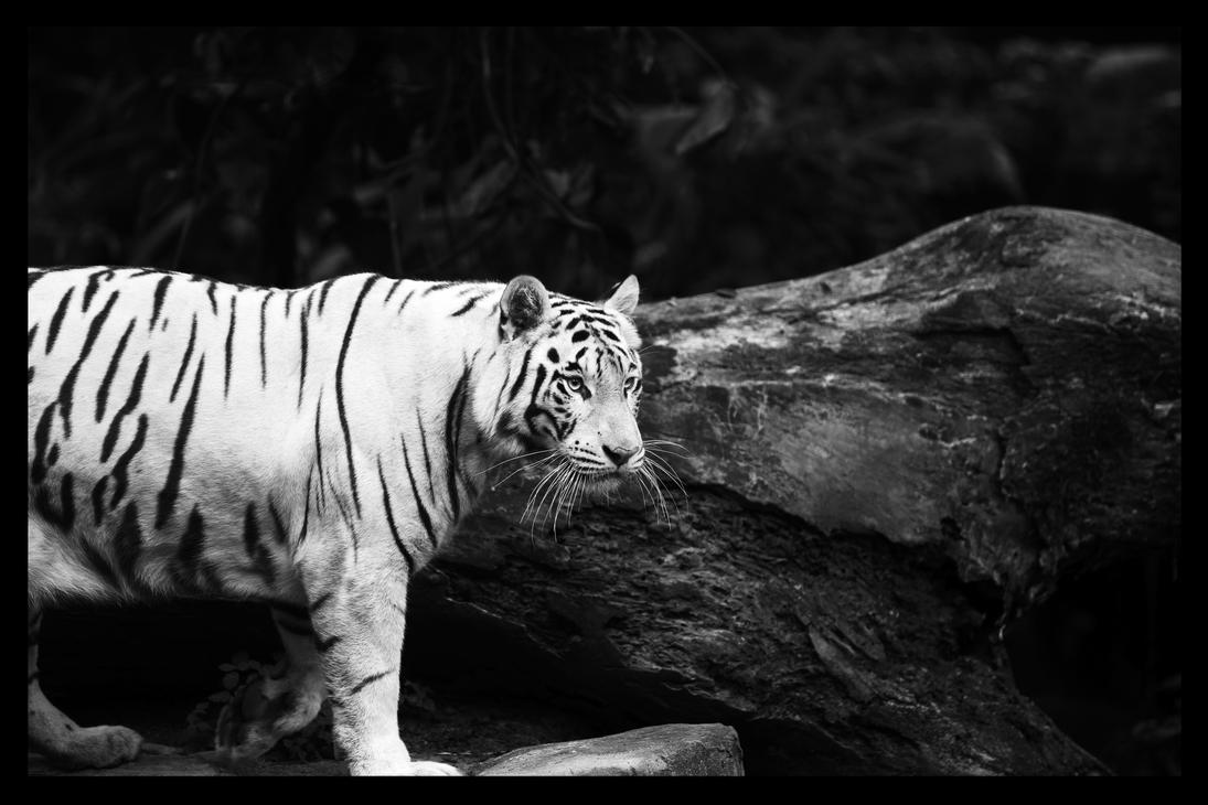White tiger. by TheFearlessYoyo
