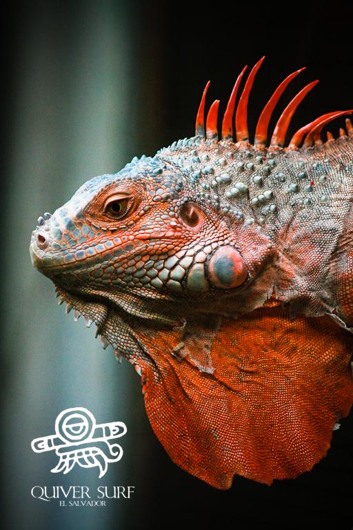 Red Iguana by Quiversurf on DeviantArt