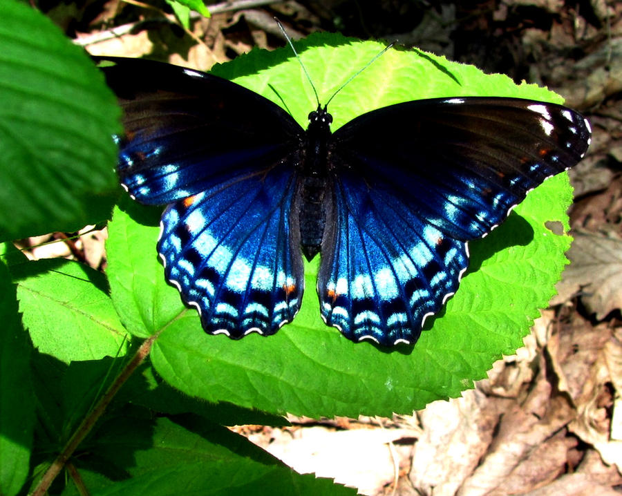 blue butterfly group - photo #18
