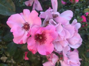 Flower Tyes Close-up
