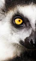 Lemur catta by Mias-Photography