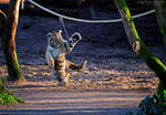 Playing tiger cub