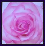 'purple-pastell rose'