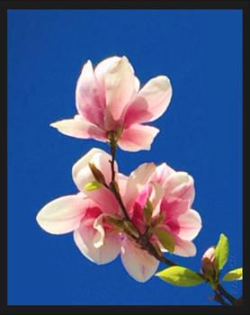 -pink magnolia-