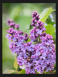 -lovely lilac-