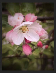 -apple blossom-