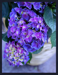 -purple hydrangea-