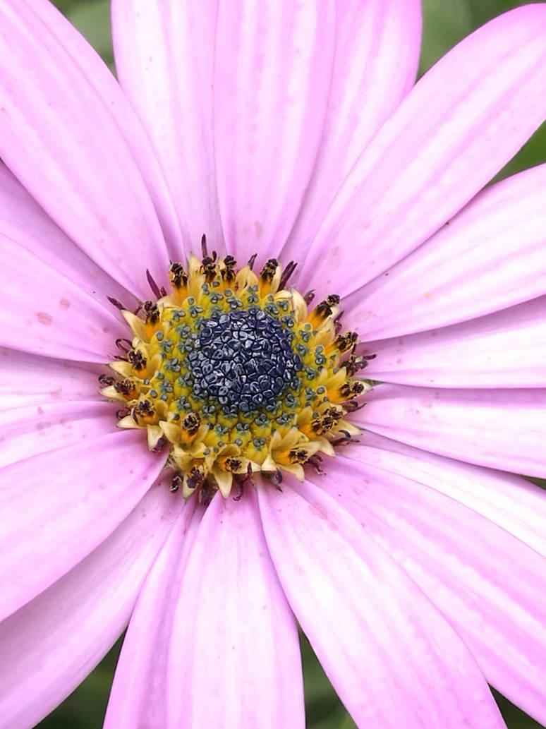 Pink Petals  by sadielazarus