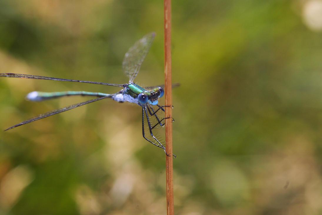 Emerald damselfly (Lestes sponsa) by Azph