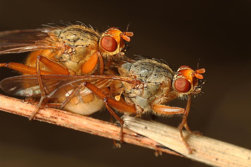 Humping flies by Azph
