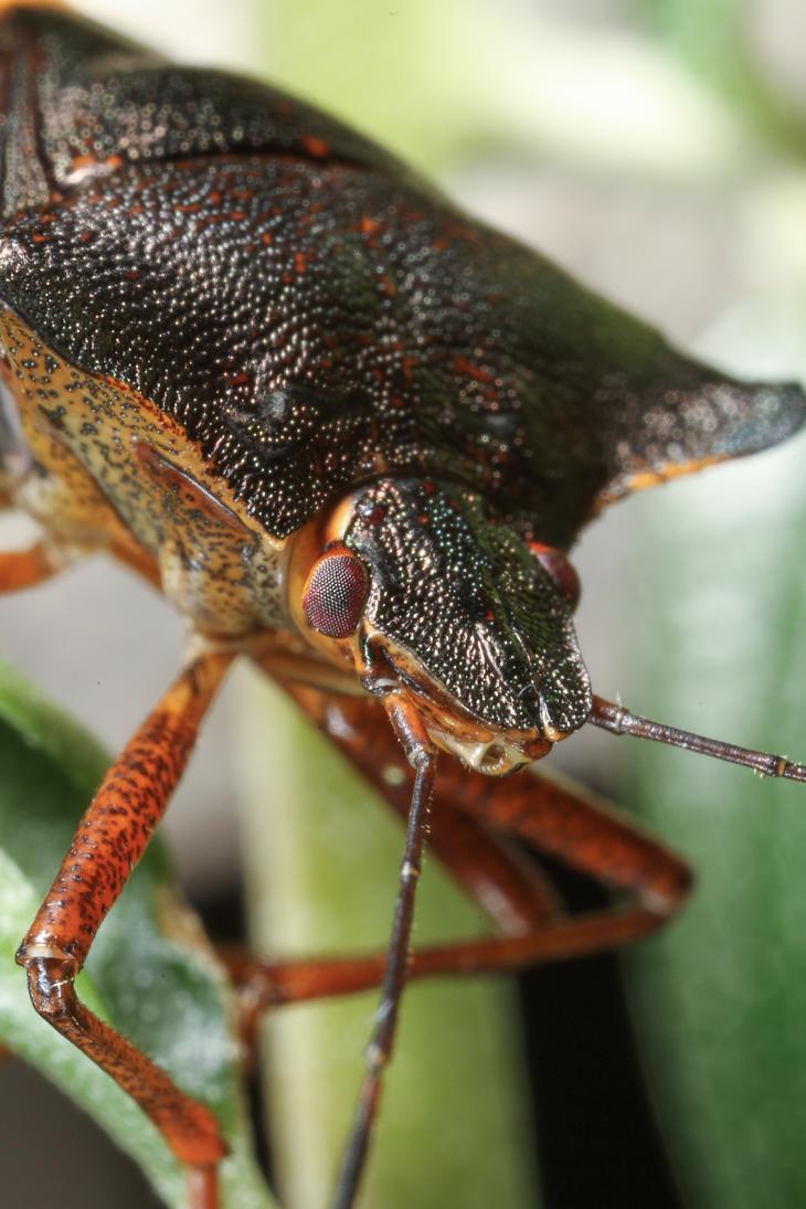Red-legged Shieldbug (Pentatoma rufipes) by Azph