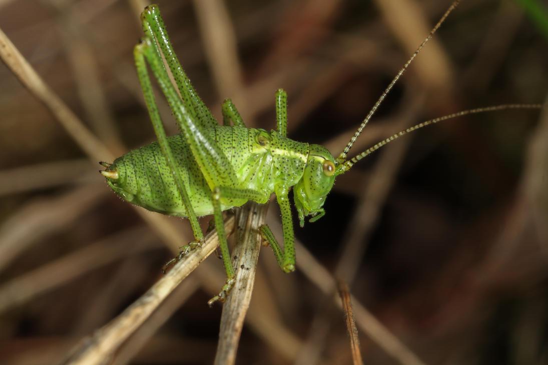 Speckled Bush-cricket (Leptophyes punctatissima) by Azph