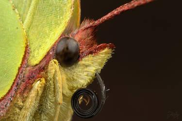 Common Brimstone (Gonepteryx rhamni) by Azph
