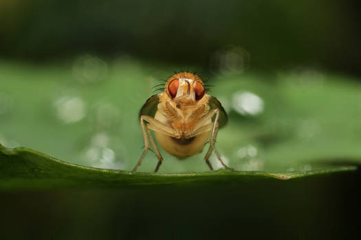 The Kung-Fu Fly