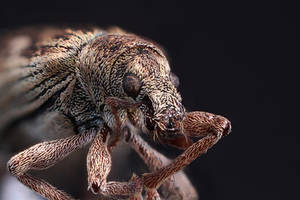 Some kind of weevil