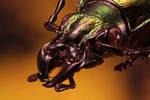 Ground beetle (Carabus splendens)