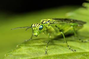 Sawfly (Rhogogaster viridis)