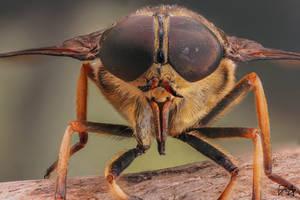 Pale Giant Horse-fly (Tabanus bovinus) by Azph