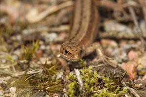 Sand Lizard (Lacerta agilis) by Azph