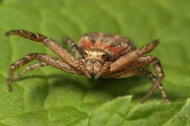 Crab spider (Xysticus kochi)