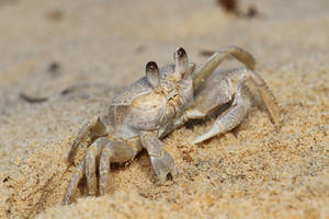 Ghost crab (Ocypode madagascariensis)