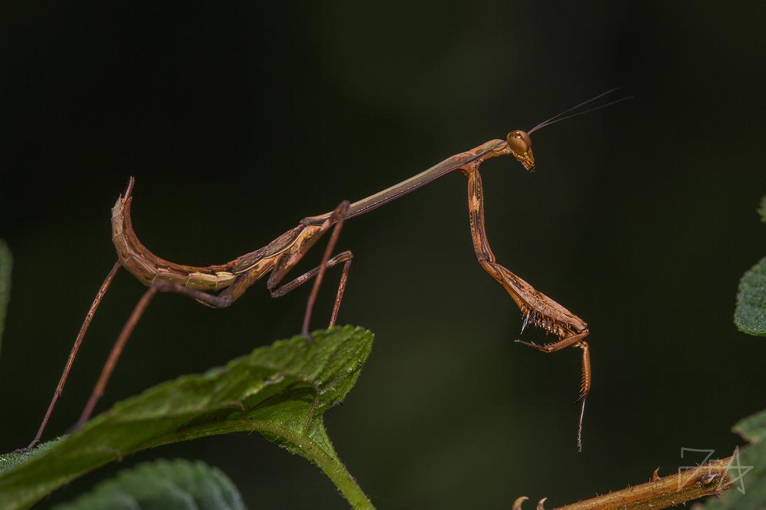 Madagascan Marbled Mantis (Polyspilota Aeruginosa) by Azph
