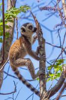 Ring-tailed Lemur (Lemur catta) by Azph