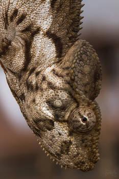 Malagasy giant chameleon (Furcifer oustaleti)