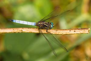 Skimmer (Libellulidae sp.) by Azph