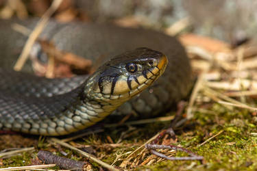 Grass snake (Natrix natrix) by Azph