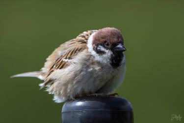 Eurasian tree sparrow (Passer montanus)  by Azph