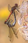 Common darter (Sympetrum striolatum) by Azph