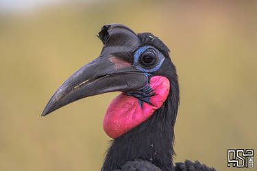 Abyssinian Ground-Hornbill (Bucorvus abyssinicus) by Azph